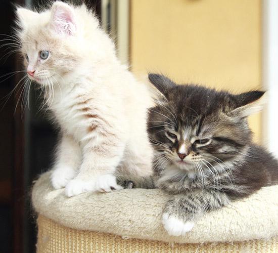 Exotic Kitten Cattery